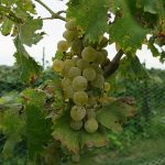 MVEC Valvin Muscat E-L Stage 37 Berries not quite ripe.