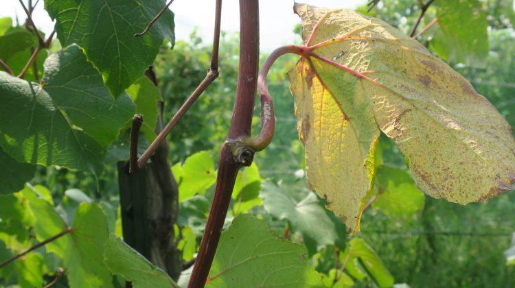 Grape phenology and GDD accumulation