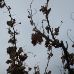 MVEC Valvin Muscat E-L Stage 47 End of leaf fall.