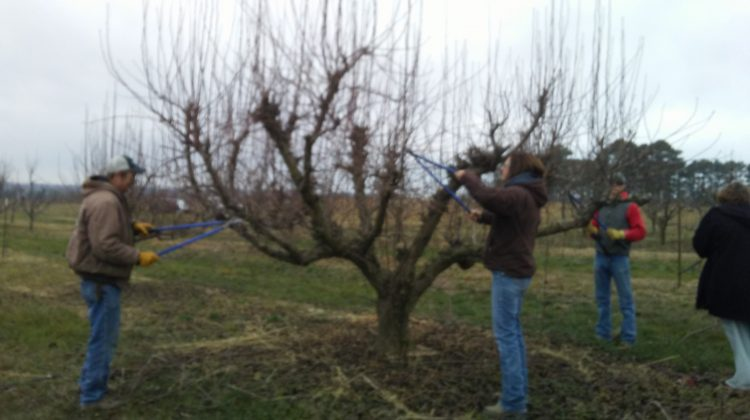 Pear Pruning