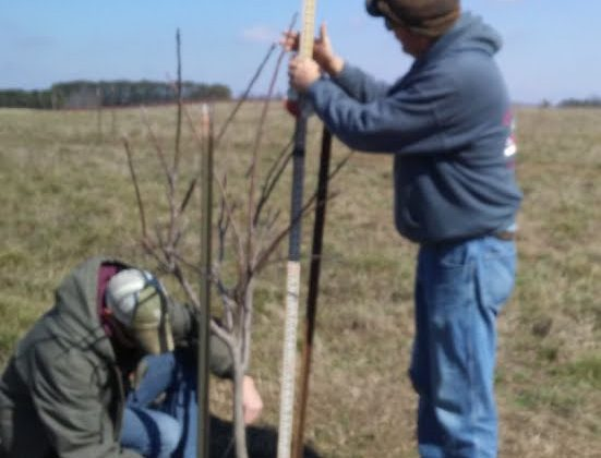 Black Walnut Tree Measurements