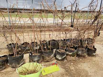 Prelude raspberries pruned for floricane production in the high tunnel