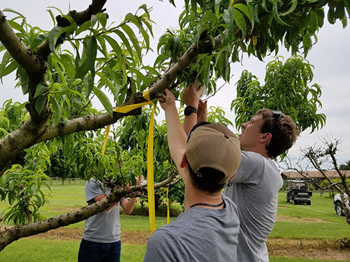 Tyler holds the branch downward and Ben secures one of the bags around a developing peach.