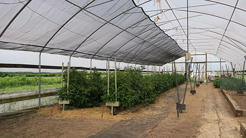 Raspberry shade cloth pulled out
