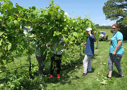 Ningxia students are working in the vineyard today and next week