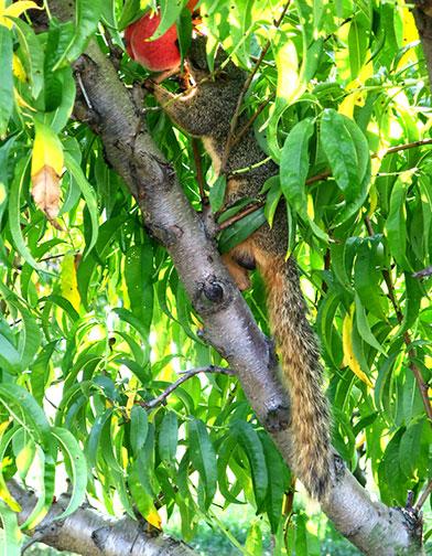 A well-fed squirrel eating a peach.