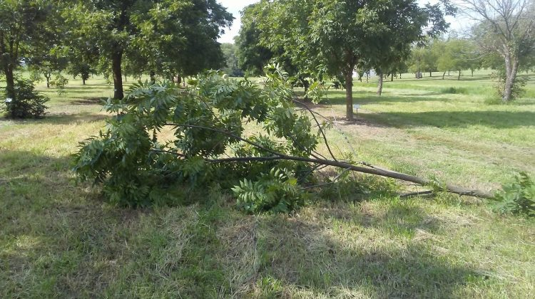 Pecan Tree Damage from Storms