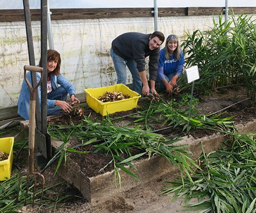 Shelia, Payton and Sarah harvest the ginger.