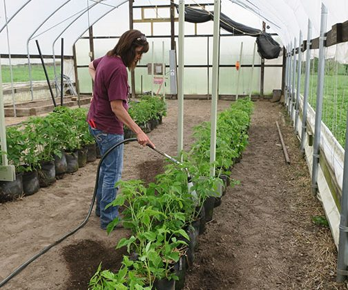 Shelia waters the bagged raspberries after they have been thinned and moved into the high tunnel.