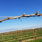 G Cabernet Sauvignon E-L Stage 4 - 7 Budburst; leaf tips visible to First leaf separated from shoot tip