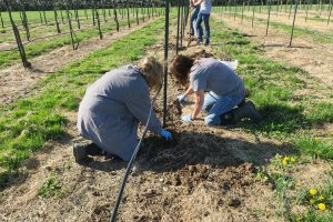 The vines are kept in a bucket of water until planting. Here the soil is being back filled into the hole.