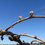 4. MVEC Sunbelt E-L Stage 4 Budburst: Leaf tips visible