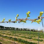 NWV Chardonel E-L Stage 7 – 9 First leaf separated from shoot tip to 2 to 3 leaves separated.