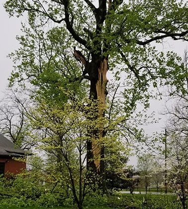 The large tulip poplar, just outside of Faurot Hall, was struck by lightening last night. Photo by Shelia Long.