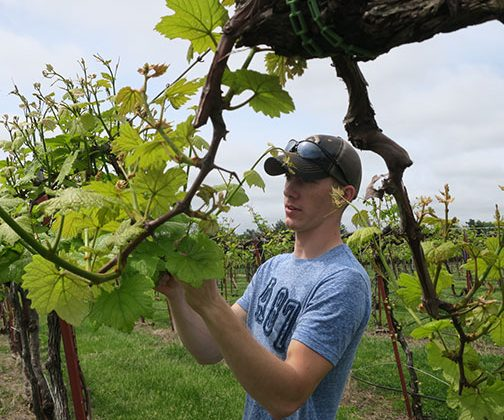 Avery thins shoots on Norton in the Research Vineyard.