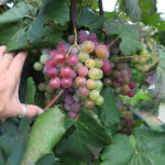 10. R Catawba E-L Stage 36 Berries with intermediate sugar levels.