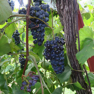 11. R Norton E-L Stage 36 Berries with intermediate sugar levels.