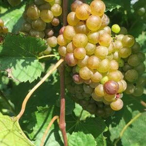 13. F Vignoles E-L Stage 37 Berries not quite ripe.