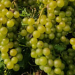 14. F Chardonel E-L 37 Berries not quite ripe.