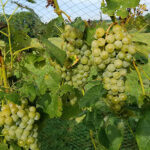 17. F Cayuga White E-L Stage 38 Berries harvest-ripe.