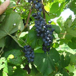 2. G Norton E-L Stage 36 Berries with intermediate sugar levels.