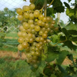 7. NWV Chardonel E-L Stage 37 Berries not quite ripe.