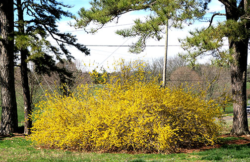 Students of phenology, how plants develop related to other occurrences, will tell you that when the forsythias bloom, it is time to treat your lawn for crabgrass control.