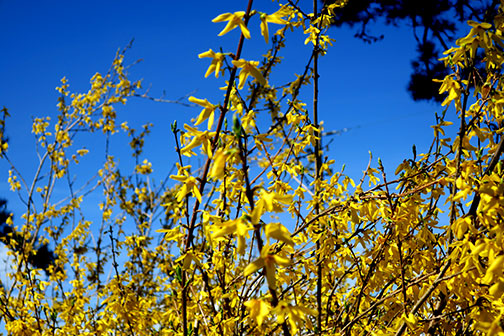 Forsythia is definitely a harbinger of spring!!