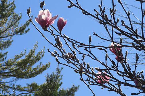 Saucer Magnolia is a larger three than Starry Magnolia.