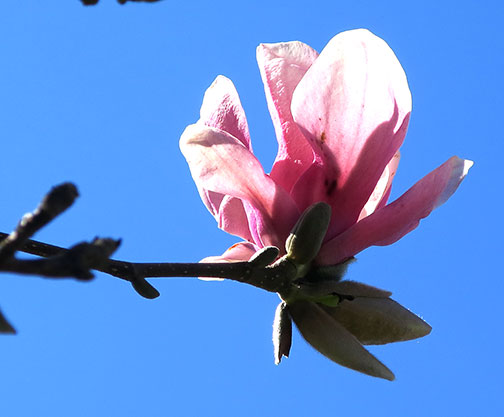 Saucer Magnolia, Magnolia soulangiana, blossoms are a pretty white and pink.