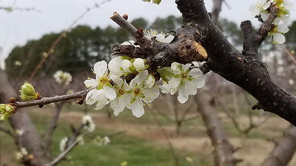 Ozark Premier plum blossoms light up the field and research area.