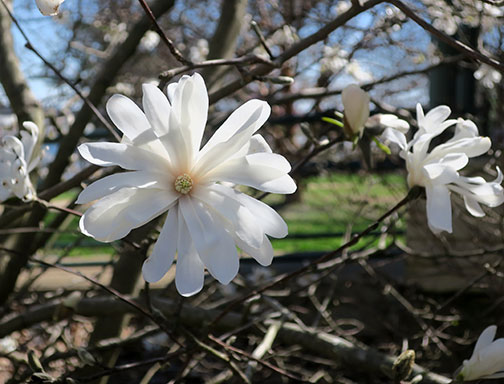 Here is the pretty blossom of Starry Magnolia.