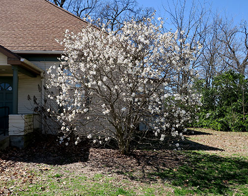 Starry Magnolia, Magnolia stellata, is a small, deciduous tree.