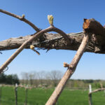 17. F Traminette E-L Stage 3-4 Wooly bud =/- green showing to Budburst; leaf tips visible.