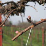 6. W Catawba E-L Stage 3-4 Wooly bud +/- green showing to Budburst; leaf tips visible.