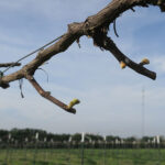 7. NWV Chardonel E-L Stage 3-4 Wooly bud +/- green showing to Budburst; leaf tips visible.