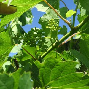 F Vignoles E-L Stage 29 - 31 Berries pepper-corn size (4mm diam.); bunches tending downward to Berries pea-size (7 mm diam.).