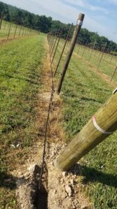 The irrigation tubing will eventually be cinched to a wire running down the rows.