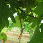 R. Norton E-L Stage 29 - 31 Berries pepper-corn size (4mm diam.); bunches tending downward to Berries pea-size (7 mm diam.).