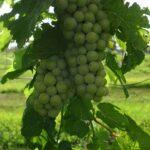 F Vivant E-L Stage 34 Berries begin to soften; Sugar starts increasing.