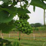 F Vivant E-L Stage 33 Berries still hard and green.