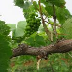 F Vignoles E-L Stage 32 Beginning of bunch closure, berries touching (if berries are tight).
