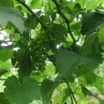 F Chardonel E-L Stage 32 Beginning of bunch closure, berries touching (if berries are tight).