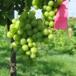 F Chardonel E-L Stage 33 Berries still hard and green.