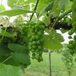 F Cayuga White E-L Stage 32 Beginning of bunch closure, berries touching (if berries are tight).