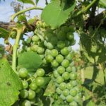 F Cayuga White E-L Stage 34 - 35 Berries begin to soften; Sugar starts increasing to Berries begin to colour and enlarge.
