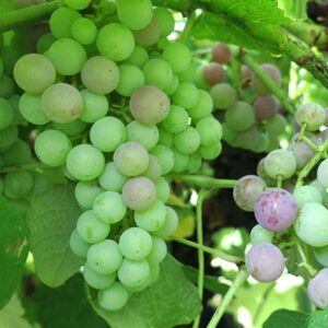 D Mars E-L Stage 34 - 35 Berries begin to soften; sugar starts increasing to Berries begin to colour and enlarge.