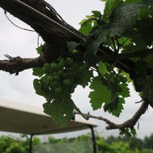 G Cabernet Sauvignon E-L Stage 31 Berries pea-size (7 mm diam.).