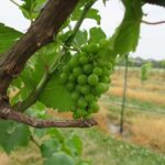 NWV Chardonel E-L Stage 32 Beginning of bunch closure, berries touching (if berries are tight).