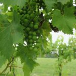 NWV Chambourcin E-L Stage 32 Beginning of bunch closure, berries touching (if berries are tight).